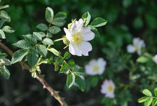 カニナバラの花