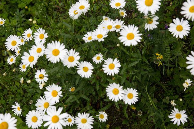 カミツレ花