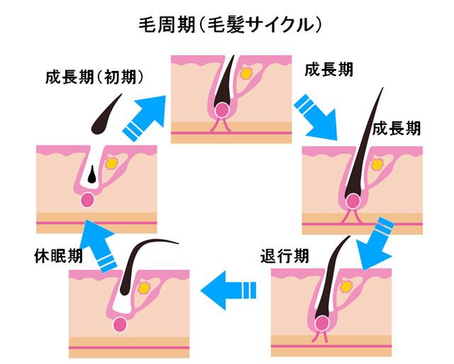 毛周期(毛髪サイクル)