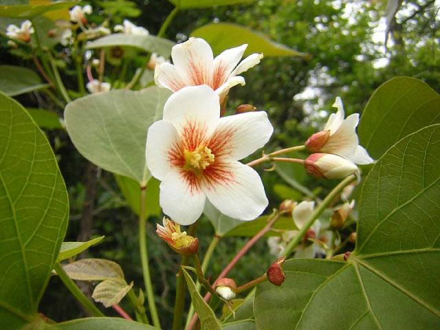 シナアブラギリの花