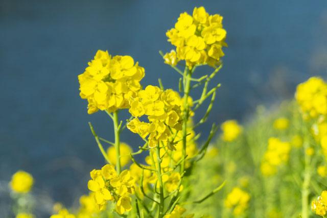 アブラナの花