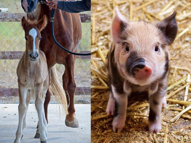 子馬と子豚